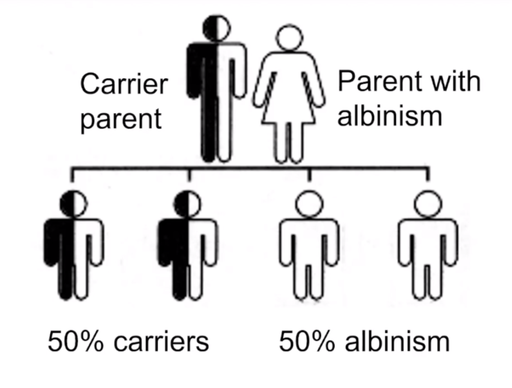 A genetic chart featuring a carrier parent and a parent with albinism and their offspring